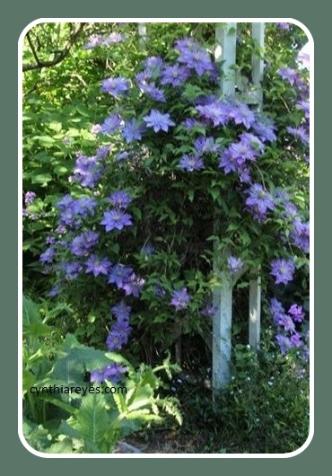 Photo Garden Double clematis in full bloom