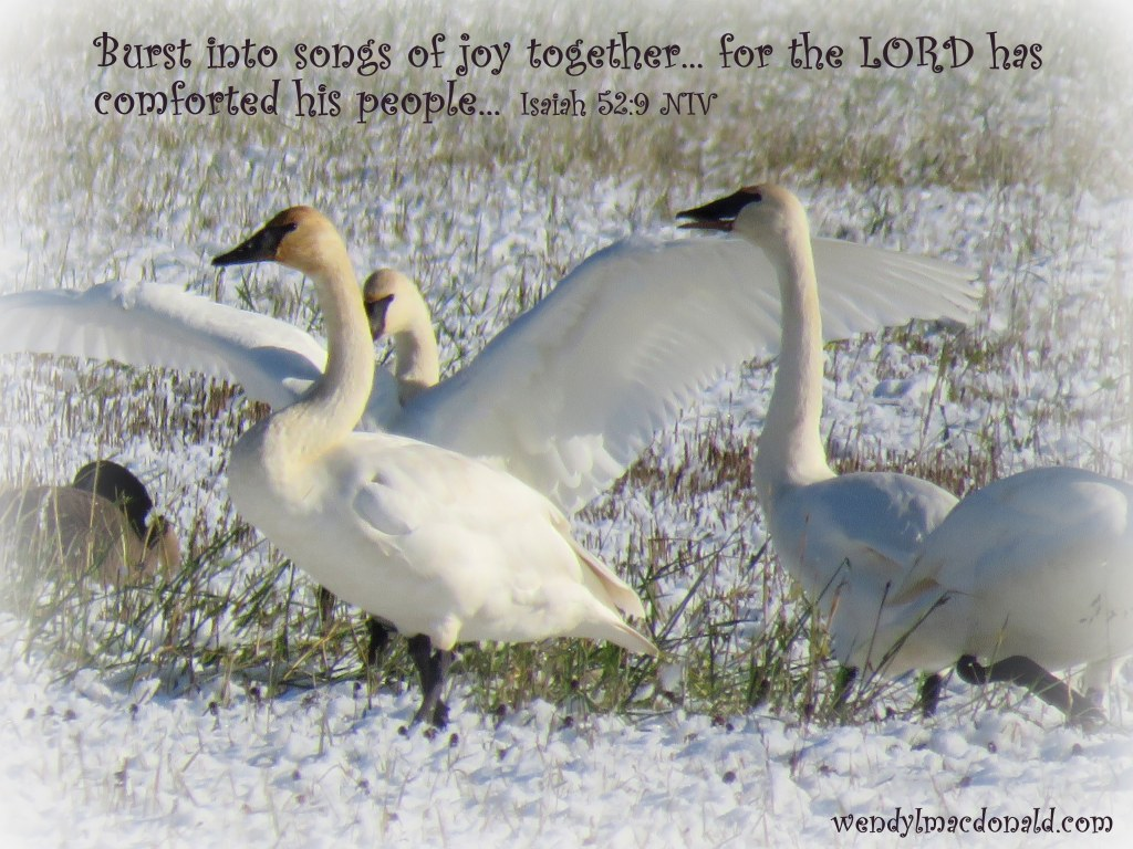 The Lord Comforts His People wendylmacdonald.com Trumpeter swans