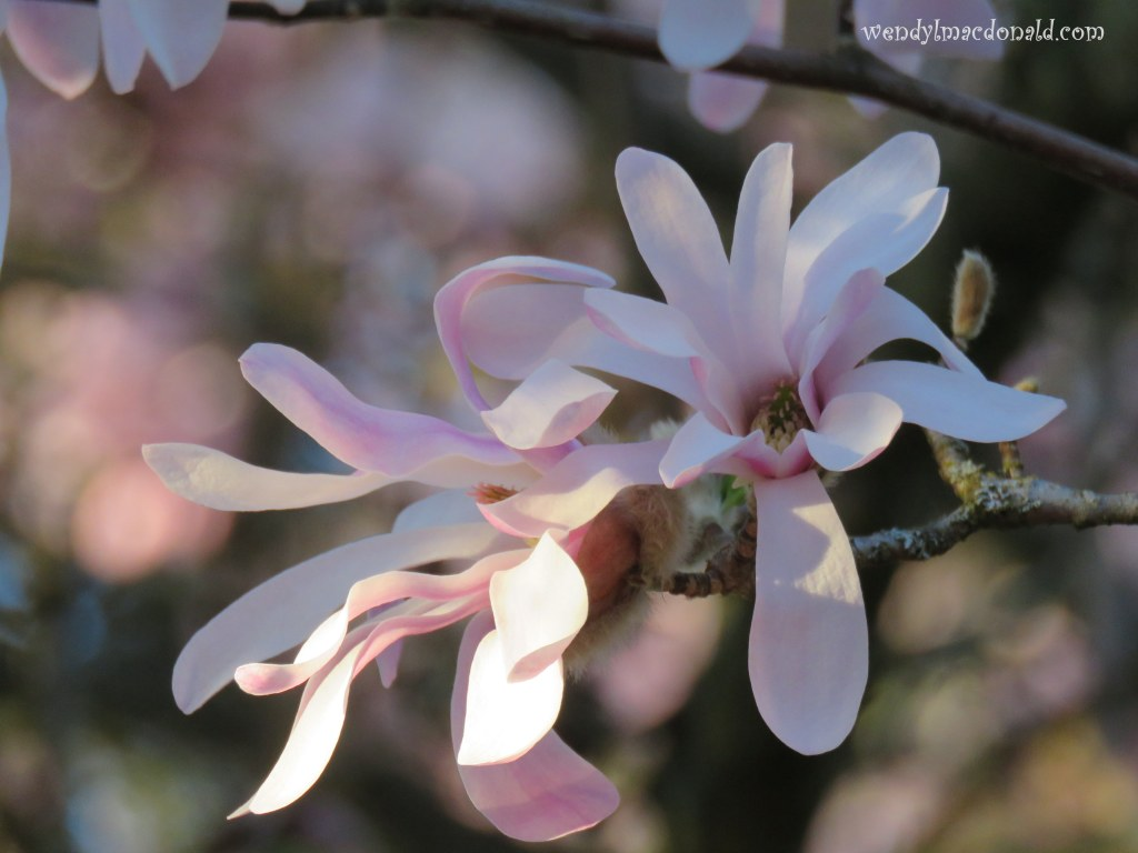 My Favorite Tree #memoir magnolia blossoms wendylmacdonald.com